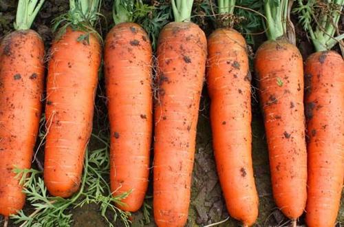 胡萝卜怎么种植 胡萝卜的种植方法和注意事项(图)