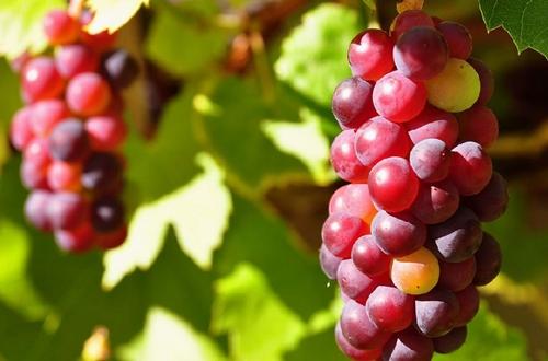 如何种植葡萄 葡萄的种植方法和