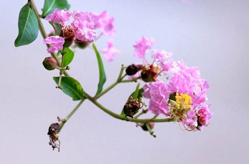 <b>紫薇花叶子尖发黑枯萎是什么原因 怎么办(图)</b>