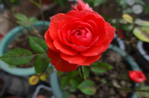 钻石玫瑰长虫了怎么办 是什么原