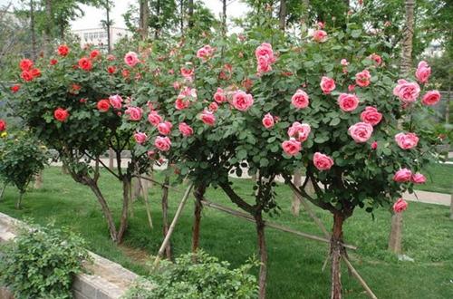 <b>树桩玫瑰叶片发黄发黑,落叶严重怎么办?</b>