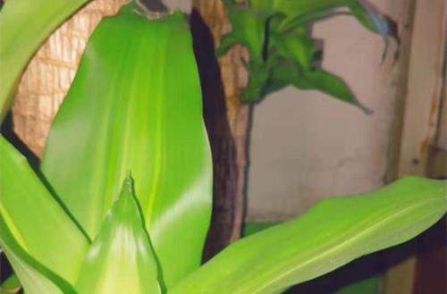 巴西木异常症状的诊断与养护注意