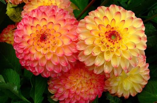 如何选购大丽花及其梅雨季节的养