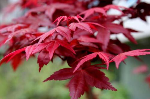 红枫怎么养 红枫的养护方法和注