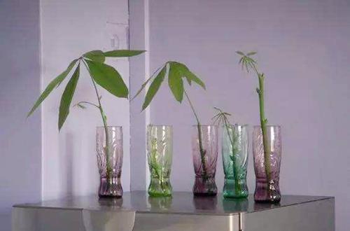 发财树插枝水培方法?发财树如何