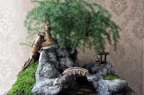 澳洲松盆景怎么养 澳洲松盆景的
