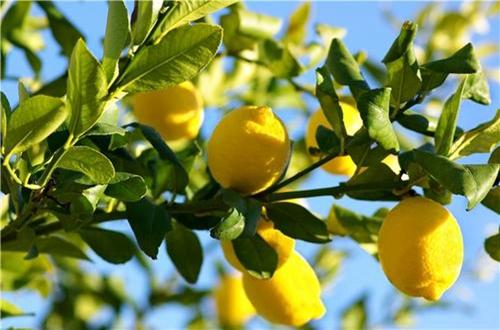 <b>柠檬去年结过果实的枝条今年不长叶子是怎么回事 怎么办(图)</b>