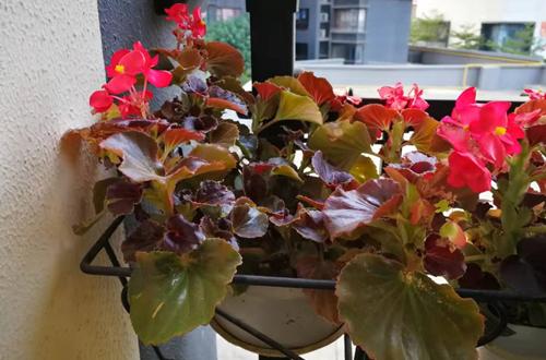 四季海棠要怎样修剪才能形状好看