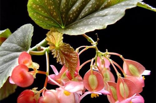 斑点竹节海棠有毒吗 能在室内养