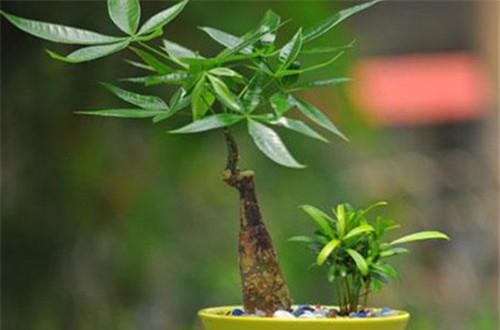 发财树怎么浇水 发财树的浇水方