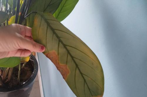 孔雀竹芋叶片干枯,不往上长,新