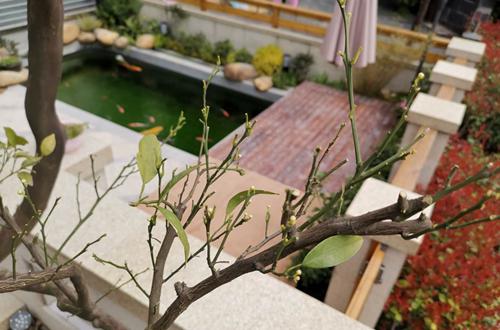 橙子树叶子掉了,现是新芽萌发期
