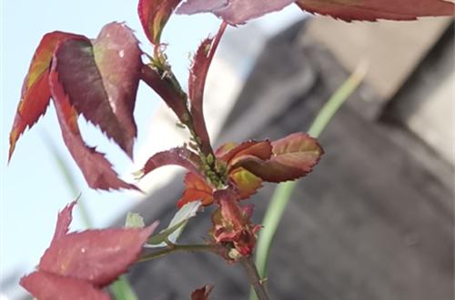 春天月季长虫子,花友支招百试百