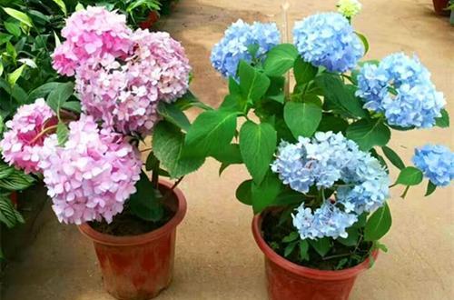 盆栽绣球花用园土还是营养土?卖