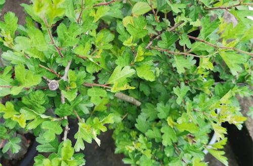 盆栽山楂春天要修剪吗,怎么修剪?山楂春季怎么施肥,果子才能大