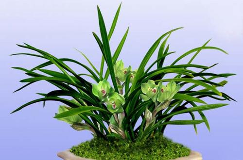 兰花在花期中间的花箭上长出高芽