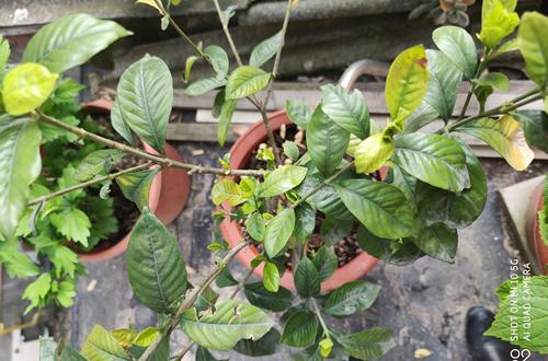 去年秋天开始养的栀子花,叶子少