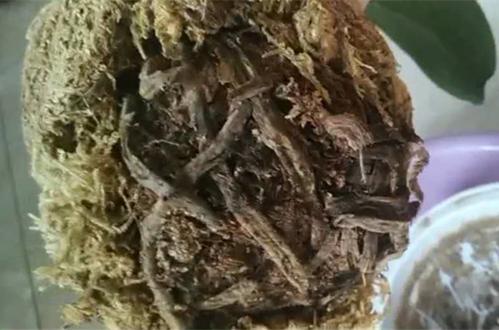 蝴蝶兰就剩一个不干巴的根了还能