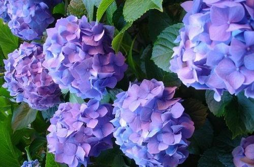 这季节绣球花应该施点什么肥料?