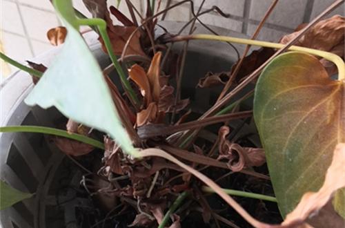<b>水养快三年的红掌叶子枯萎怎么回事?是寿命快到了?还能救吗?</b>