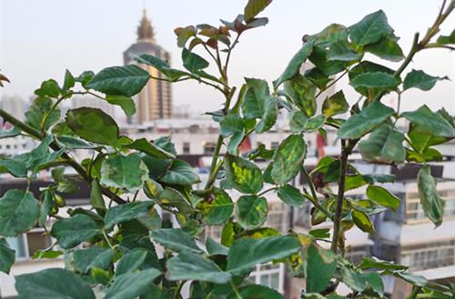 <b>嫁接的树状月季叶子干枯,是什么原因?需要咋整?</b>