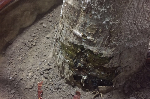 发财树烂根还能救活吗?怎么救?