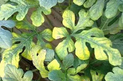 牡丹花叶子周边干枯黄叶,有枝条