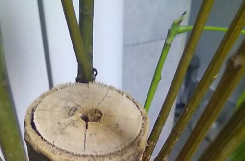 发财树黄叶、枝条干枯是什么原因