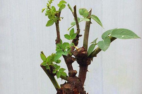 <b>玫瑰花苗换盆叶子就耷拉蔫了该咋办?玫瑰花换盆后怎么养护?</b>