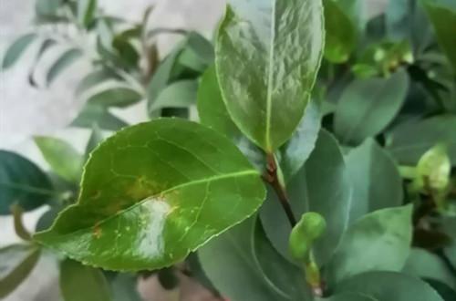夏天养护茶花要注意,不然容易晒