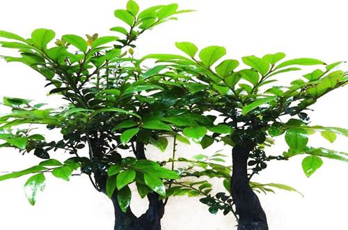 小叶紫檀叶子干枯能救活吗?怎么