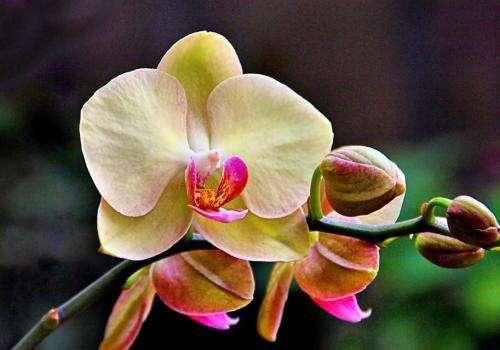 蝴蝶兰的花骨朵还没有长大就开始