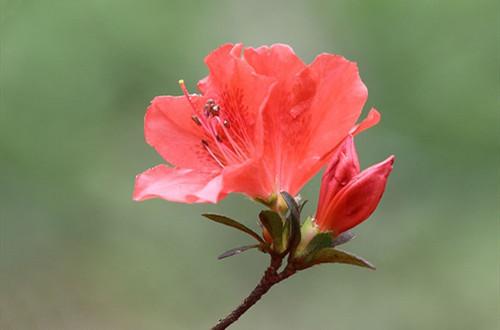 杜鹃花开过后长新芽了怎么处理