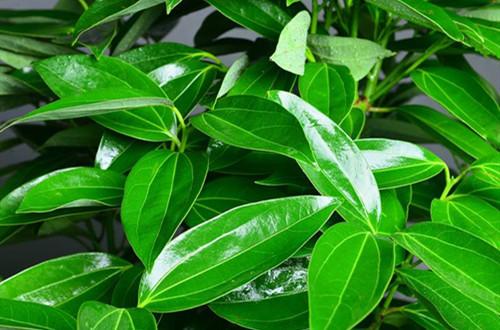 平安树老是黄叶,不长新芽是怎么