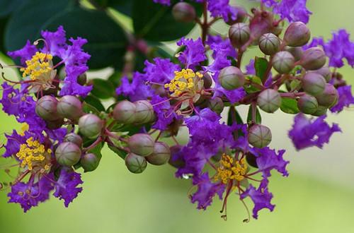 紫薇花冬天怎么养护 紫薇花冬天