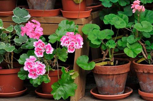 天竺葵怎么养才能开花多多?注意