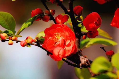 养护海棠花不再郁闷,学习这几点