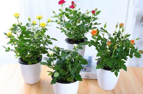 买带花的玫瑰都是养不活的吗?花