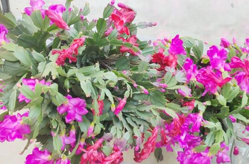 冬天蟹爪兰开花为什么叶子打蔫?