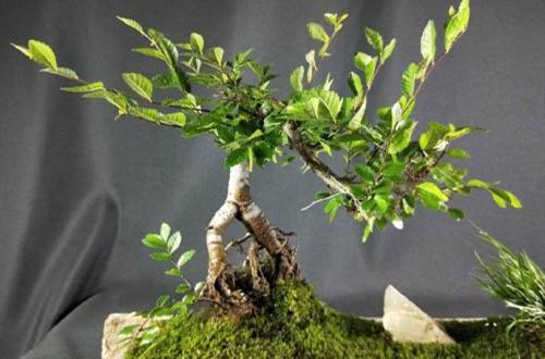 榆树盆景换盆后怎么养护?注意这