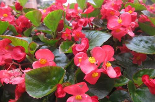 四季海棠掉花苞是什么原因?注意