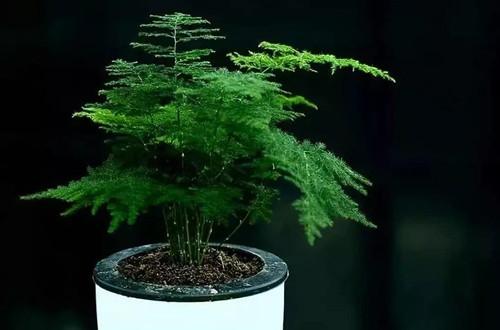 文竹一年四季怎么施肥?不同节季