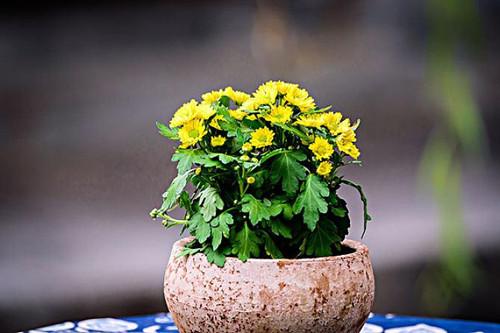 菊花的老枝条今年还会开花吗?需