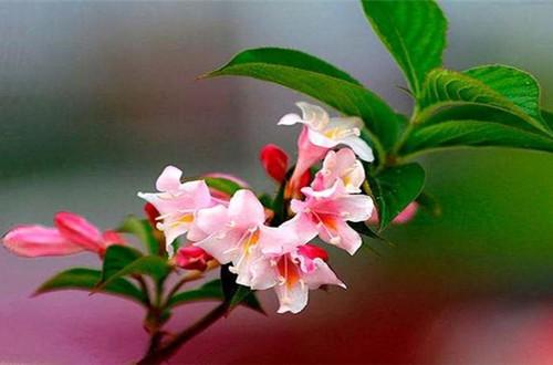五彩锦带花怎么养?了解这些养护