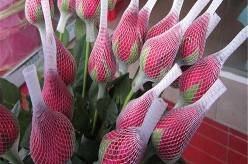 给月季花苞套网套有什么好处呢?