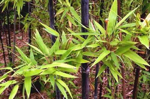 盆栽的紫竹要怎么养护?记住这六