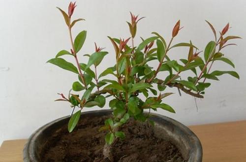 盆栽石榴树叶子黄叶怎么办呢?怎