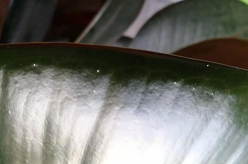 橡皮树(黑金刚)叶片出现了白色斑点怎么办
