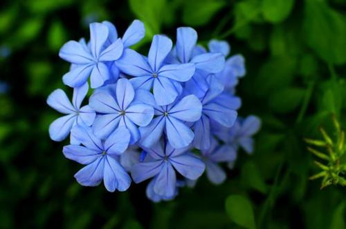 蓝雪花的花期是什么时候?不开花