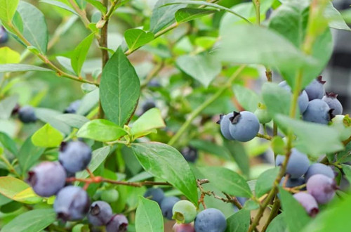 蓝莓树种植几年后可以挂果?挂果
